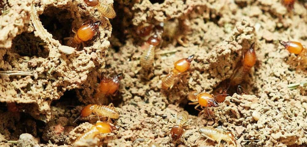 prevent termites naturally