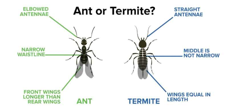 what do termites do to humans